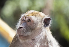 Macaque Monkey Portrait Closeup Royalty Free Stock Photos