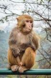 Macaque monkey portrait - curious Stock Photography
