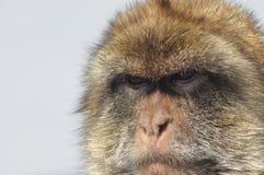 Macaque, monkey portrait, Gibraltar. Royalty Free Stock Photo