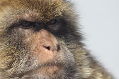 Macaque, monkey portrait, Gibraltar Royalty Free Stock Photos