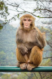Macaque monkey portrait - lonely Stock Images
