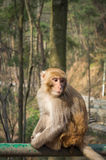 Macaque monkey portrait - lonely 4 Royalty Free Stock Photography