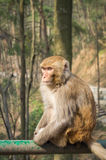Macaque monkey portrait - lonely 2 Royalty Free Stock Photo