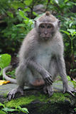 Close-up of a Long-tailed Macaque Monkey Royalty Free Stock Images