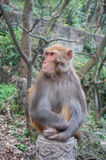 Macaque monkey portrait - serious Stock Photography