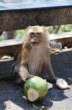 Macaque monkey portrait. Sitting with coconut Stock Photos