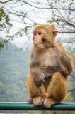 Macaque monkey portrait - Sorrow Stock Images