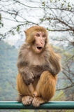 Macaque monkey portrait - surprise Stock Image