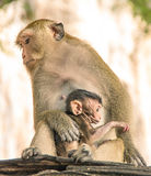Macaque monkey protecting the newborn Child Royalty Free Stock Image