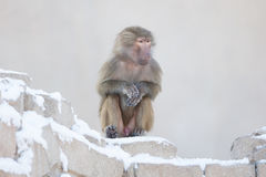 Macaque monkey resting royalty free stock photos