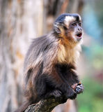 Macaque monkey scream royalty free stock images