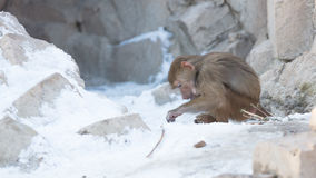 Macaque monkey searching food Royalty Free Stock Images