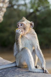 Macaque Monkey sitting on ancient ruins of Angkor, Cambodia Royalty Free Stock Photo
