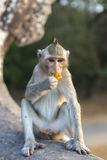 Macaque Monkey sitting on ancient ruins of Angkor, Cambodia Stock Photo