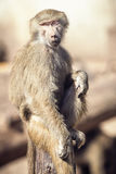 Macaque Monkey Sitting Royalty Free Stock Photography