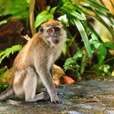 Macaque monkey sitting on the ground Royalty Free Stock Images
