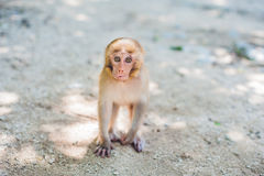 Macaque monkey sitting on the ground. Monkey Island, Vietnam Stock Photo