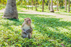 Macaque monkey sitting on the ground. Monkey Island, Vietnam Stock Images