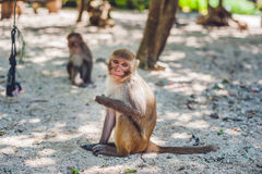Macaque monkey sitting on the ground. Monkey Island, Vietnam Royalty Free Stock Images