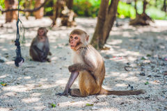 Macaque monkey sitting on the ground. Monkey Island, Vietnam Royalty Free Stock Photos