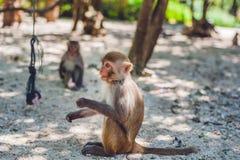 Macaque monkey sitting on the ground. Monkey Island, Vietnam Stock Photography