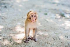 Macaque monkey sitting on the ground. Monkey Island, Vietnam Royalty Free Stock Photo