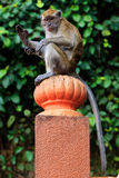 Macaque monkey sitting on a pole Royalty Free Stock Photo