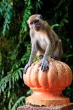 Macaque monkey sitting on a pole Stock Image