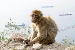 Barbary macaque monkey in Gibraltar stock photos