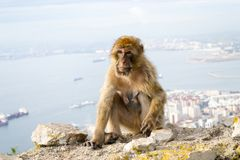 Barbary macaque monkey in Gibraltar royalty free stock image