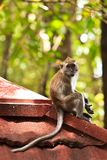 Macaque monkey sitting on a roof Stock Images