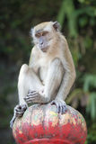 Macaque Monkey Sitting on Top Royalty Free Stock Photography