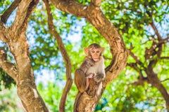 Macaque monkey sitting on the tree. Monkey Island, Vietnam Royalty Free Stock Image