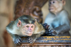 Macaque monkey thief Royalty Free Stock Photo