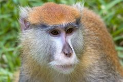 Macaque monkey thinking Royalty Free Stock Photography