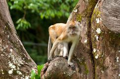 Macaque monkey in tree Royalty Free Stock Photo
