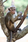 Macaque monkey on the tree looking around Royalty Free Stock Images