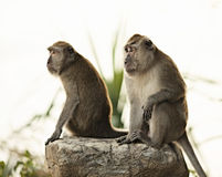 Macaque Monkey Stock Photography