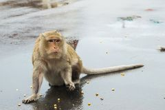 Macaque monkey waiting for corn seeds from tourists. A macaque monkey waiting to be fed more corn seeds, from tourists on a rainy day in Phnom Penh, Cambodia royalty free stock image