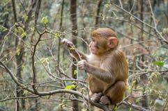 Macaque monkey 3 Stock Photos