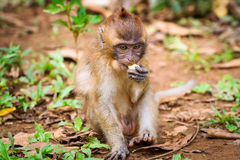 Macaque monkey in wildlife Royalty Free Stock Photo