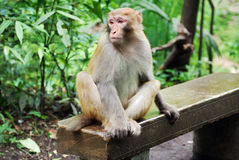 Macaque Monkey in Zhangjiajie. This photo is taken in Golden Whip River in Zhangjiajie National Forest Park, a UNESCO World Heritage Site in Hunan province Stock Photo