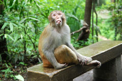 Macaque Monkey in Zhangjiajie. This photo is taken in Golden Whip River in Zhangjiajie National Forest Park, a UNESCO World Heritage Site in Hunan province Royalty Free Stock Image