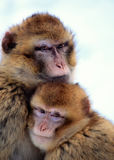 Macaque Monkeys. Close up of Barbary Macaque monkeys royalty free stock photos