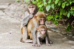Macaque monkeys. Nanwan Monkey Island on the south coast of Hainan island. State-protected nature reserve for royalty free stock image