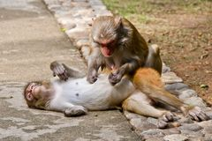 Macaque monkeys. Nanwan Monkey Island on the south coast of Hainan island. State-protected nature reserve for stock image