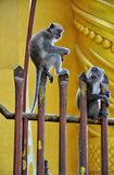 Macaque monkeys. Two macaque monkeys are resting on gate Royalty Free Stock Photography