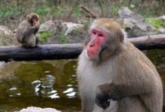 Macaque monkeys. In Landskron, near Villach Royalty Free Stock Photos