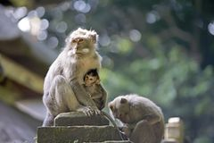 Macaque monkeys and baby. A baby macaque monkey suckling at the Monkey Forest Temple in Ubud, Bali, Indonesia Stock Image
