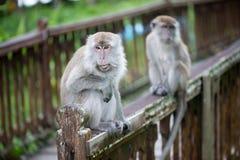 Macaque monkeys. In Bako national park in Borneo, Malaysia royalty free stock photos